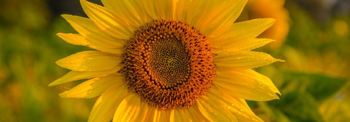 ChemSynergy-Sonnenblume