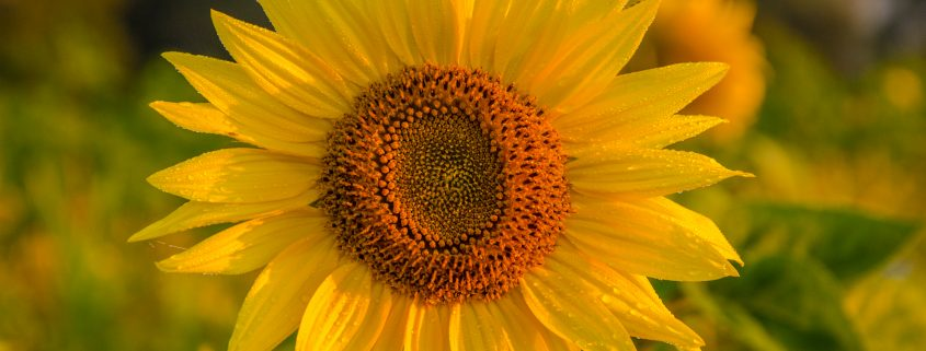 ChemSynergy-sunflower